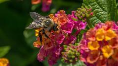 _DSC0368 (johnjmurphyiii) Tags: 06107 bees connecticut elizabethpark garden insect originalnef summer tamron18400 usa westhartford flowers johnjmurphyiii macro
