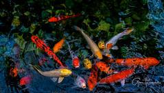 Florida Life: Got Sushi? (Thūncher Photography) Tags: sony a7r2 sonya7r2 ilce7rm2 zeissfe1635mmf4zaoss fx fullframe scenic waterscape fish koipond gaylordpalmsresort orlando florida