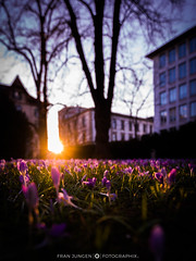 Frühlingsanfang (fran.fotographix) Tags: frühling krokus krokusse schweiz sonne sonnenstrahlen zürich