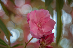 pink flower in Byblos, Lebanon (Pejasar) Tags: flower bloom blossom garden byblos lebanon pink art bokeh
