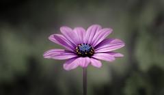DSC_7270 [explored 15 Aug 2017] (zzra) Tags: flower macro closeup bokeh purple