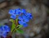 Deeper Blue (Kreative Capture) Tags: blue flower plumbago deeper color bluetiful petals texas nikkor 7dwf nikon d7100 flora outside