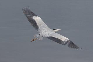 Grey Heron (Ardea cinerea) in flight seq1