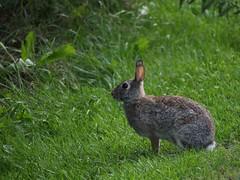 Rabbit (Janet Tubb) Tags: animal mammal rabbit oshawa ontario canada