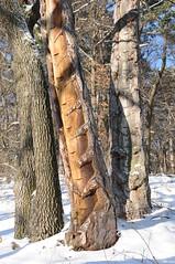 DSC_0300 Pechnasen (old resin nose), Schirmföhre, Sooßer Lindkogel 20.12.2010 (MQ73) Tags: 2010 20122010 wandern niederösterreich loweraustria österreich austria soos wald wienerwald forest wood viennawoods schirmföhre schwarzkiefer pechnasen pech harz resin schnee winter snow hiking baumstamm timber