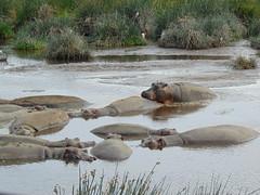 DSC00460 (francy_lioness) Tags: safari jeep animals animali ippopotami leone savana gnu elefante iena pumba tanzaniasafari ngorongorocratere gazzella antilope leonessa lioness facocero