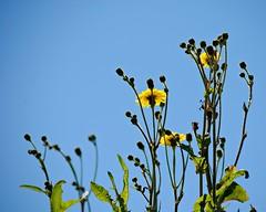 Blue, green and yellow (Squatbetty) Tags: whitehaven cumbria dandelions nikon nikond3000