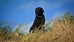 Dünenmaus (uwe.kast) Tags: labrador labradorretriever labradorredriver hund haustier dog denmark danmark dänemark dk dünen dunes nikon1 nikon nikon1v1 nikonone nordsee northsee