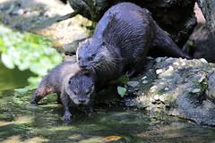 Prima lezione di nuoto (carlo612001) Tags: swimming course otter lesson cute swim puppy puppies lovely