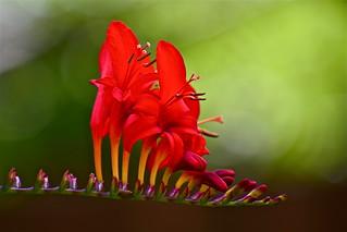 red splendour