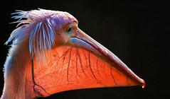 Fast durchsichtig (ellen-ow) Tags: krauskopfpelikan pelikan wirbeltiere ruderfüser vögel bird pelican natur tier pelecanuscrispus animal durchsichtig profil adern ellenow nikond5 gegenlicht licht light