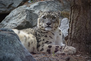 Ghost of the mountains | Snow leopard