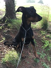 Sheltering From The Rain - Doberman Pinscher Saxon (firehouse.ie) Tags: tan black outdoors nature chien hund pero animals animal dogs dog blackandtan male saxon pinscher pinschers dobermann doberman dobermanns dobermans dobeys dobey dobies dobie dobes dobe