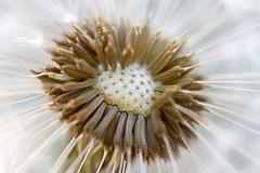 117in2017 #97 unwanted (Karen Juliano) Tags: seedhead seeds weed dandelion macro plant