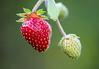 Strawberries.. :) (LamiaDeTenebris) Tags: strawberries strawberry erdbeere erdbeeren rot grün red green nature natur plant pflanze תותים תות אדום ירוק bokeh tamron macrounlimited