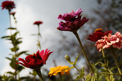 it's a wonderful world (kinaaction) Tags: flora flowers sonyilce6000 colours nature zinnia cynia