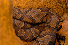 Clump of Northern Copperheads (Shaun Gary) Tags: copperhead northern northerncopperhead venomous venomoussnakes snakes state snake eastern herping herpetology habitat herp pennsylvania park reptiles