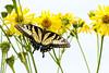 DSC_6438 swallowtail on yellow comp (dllarson2009) Tags: kansas bakerwetlands