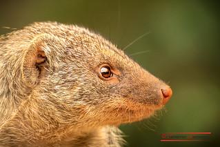 Banded mongoose ( Mungos mungo)