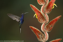 Violet Sabrewing (Alastair Marsh Photography) Tags: violetsabrewing violet sabrewing hummingbird hummingbirds bird birds tropical jungle rainforest rain rainfall raining clouds cloudforest forest heliconia plants plant flowers flower costarica costaricanbirds centralamerica caribbean flight fly flying