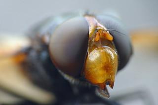 365 - Image 240 - Hoverfly macro... **Explored**