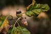 Acorns  - Anderson S.C. (DT's Photo Site - Anderson S.C.) Tags: canon 6d 24105mml lens upstate andersonsc south carolina macro usa america trees oak acorn leaves foliage forest scenic outdoors
