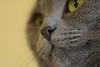 DSC_3847 (MaurizioBerti75) Tags: gatto cat face faccia certosino nikon d7100 90mm tamron occhi eyes gialli yellow