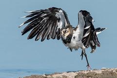 Lapwing (b) (jgsnow) Tags: bird waterbird wader plover lapwing ngc npc naturethroughthelens