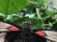 Horniman butterfly 2 (Inkysloth) Tags: butterfly butterflies insect insects invertebrate lepidoptera animal horniman hornimanmuseum caterpillar bug