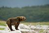 Halo_DSC9578_DxO.jpg (ggulbran) Tags: alaska workshop robertotoole halobay bears grizzlies
