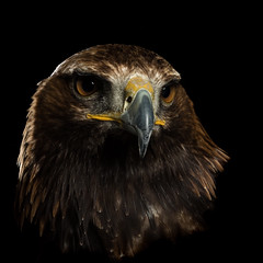 """Gerry"" the Golden Eagle."