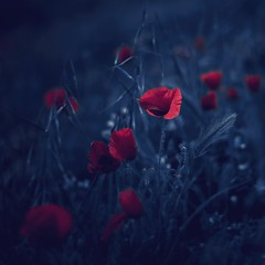 Flowers in the Dark (una cierta mirada) Tags: flowers nature blue red colors dark poppies poppy flora floral outdoors night