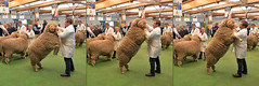 Jumping Ram_RAS Day 7_Mulloorie_DSC_6262_D (renrut01) Tags: sheep merino ram jumping showing adelaide royal judging control horns