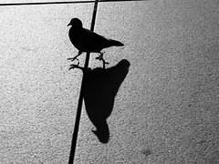 Pigeon on a street - Paris, France, 2016 (gergelytakacs) Tags: paris france streetphotography street bw monochrome pigeon sidewalk shadow digital fujifilm fuji x20 geometric black white blackandwhite