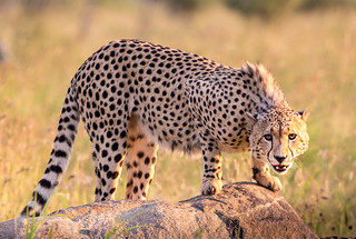 Cheetah, Pillanesberg