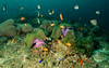 Anemoni Viola. Violet Anemones. (omar.flumignan) Tags: anemone viola violet life aquatic vitaacquatica atollo atoll arinord norrthari maldive maldives northari allnaturesparadise flickrtravelaward