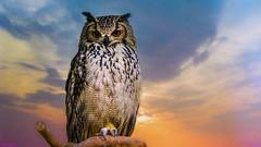 Owl - Anvers (YᗩSᗰIᘉᗴ HᗴᘉS +8 500 000 thx❀) Tags: hibou chouette owl bird sky oiseau zoo zoodanvers anvers antwerpen belgium belgique hensyasmine color 7dwf