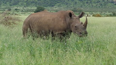 Rhino (Rckr88) Tags: krugernationalpark southafrica kruger national park south africa rhino mpumalanga rhinoceros grass grassland animals animal nature outdoors travel wilderness wildlife