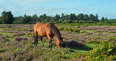 Doing what he does best, New Forest, Hampshire, England (Oswald Bertram) Tags: horse cavallino poni animal poney landschaft landscape paesaggio paysage paisaje angleterre inghilterra inglaterra granbretagna granbretaña grandebretagne grosbritannien walking walk hiking hike wandern randonnée summer sommer été estate verano heather heath erica brezo bruyère heidekraut heide moor scenery outside outdoor newforest park nationalpark nature natur naturaleza natura flickr new pony