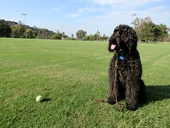 """""""It's the Little Things, like my tennis ball addiction being under control for over a year!""""  by Benni Girl (Bennilover) Tags: addiction tennisballs balls games cheese treats dog dogs labradoodle bennigirl benni mom soccerfield morning running finding practice conditioning"""