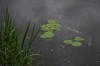 IMGP1525 (hlavaty85) Tags: water plants vodní rostliny
