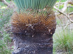 Xanthorrhoea with a haircut (Mimi_K) Tags: maranoagardens melbourne australianplants spring flowering xanthorrhoea texture