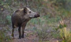 et un petit sourire pour la photo (guiguid45) Tags: nature sauvage animaux mammifères forêt loiret forêtdorléans d810 nikon 500mmf4 sangliers cochons laie affût