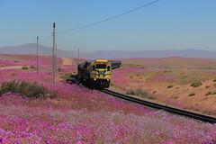 Campo de Flores Bordado... (Mono_Shadow) Tags: trenes tren train trains ferrocarril railroad desert desierto florido flowers flores atacama ferronor emd electro motive division diesel gt46ac gt46 4606