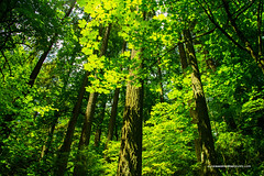 IMG_2528008011 (Kunal Mehra photography) Tags: alamypdx faaexport pacificnorthwesttrees treecanopy lushgreenforest happyforest happytrees forestparkportland portland forestpark fpc