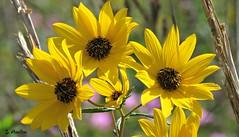 Black-eyed Susan (Suzanham) Tags: daisy blackeyesusan flowers petals yellow nature plant wildflower sunny sunshine mississippi noxubeewildliferefuge canonpowershotsx60hs