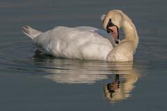 Swan - Symbol of Love (MelRoseJ) Tags: sanrafael california unitedstates us lasgallinas sonyalpha sony sal70400g sonyilca77m2 a77ii alpha autofocus birds nature northerncalifornia muteswan swan