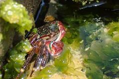 IMG_4214 (T. L. Allen, the Flyingtoolman) Tags: flyingtoolman crab crustacean leocarillostatepark tidepool malibu californa pacific socal sealife tidal macro olympustg4