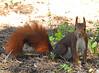 Esquilo (Marina CRibeiro) Tags: portugal lisboa lisbon monsanto parque esquilo
