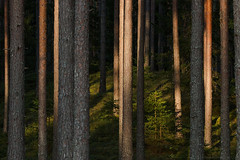 Like a cathedral (Karl Adami - www.adamifoto.com) Tags: forest woodland boreal estonian european north autumnal summery spruce trees light shadows moody beautiful nature landscapes eestimaa männid canon evening catchy